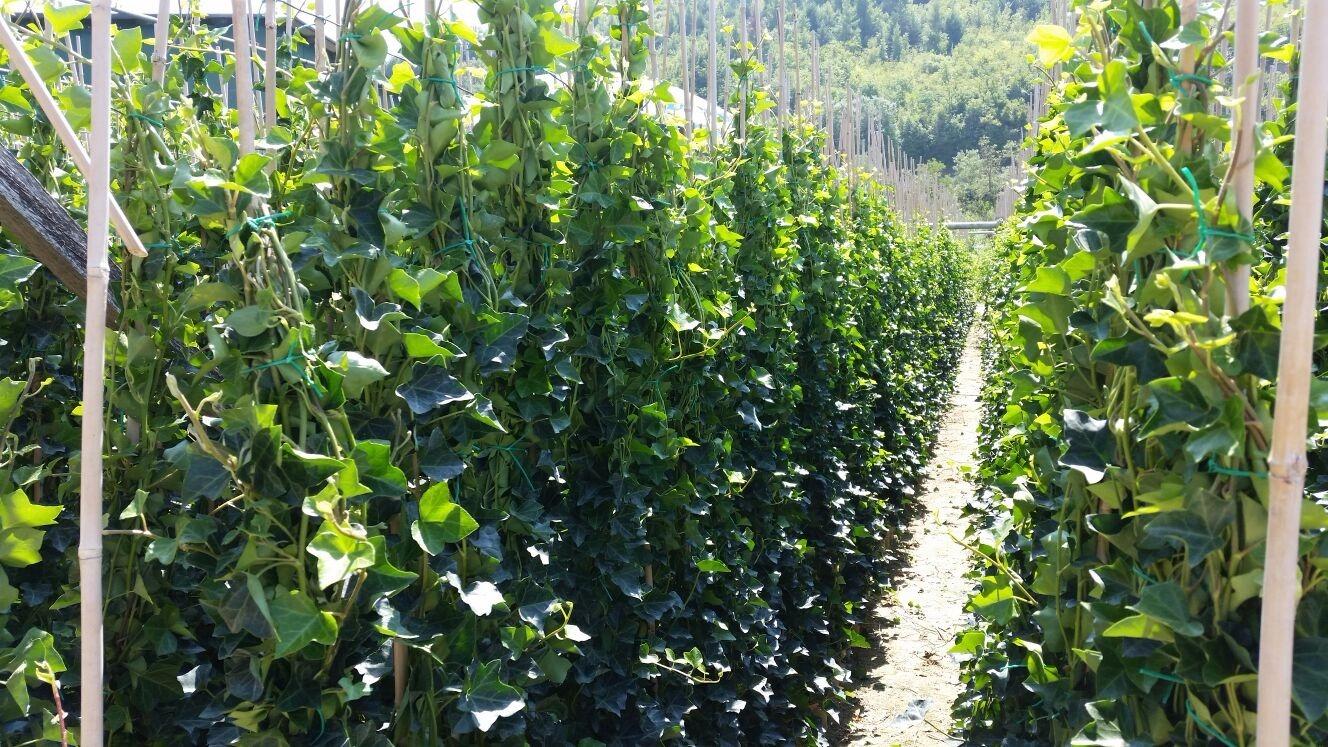 Giardini mgf come piantare un rampicante for Piante rampicanti in vaso