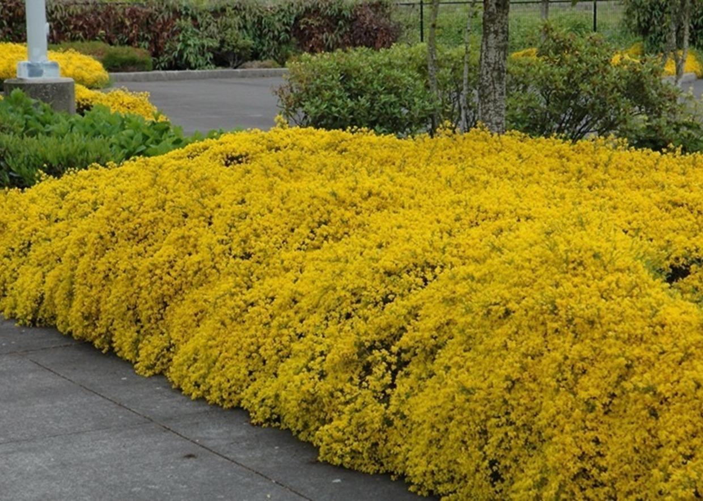 Arbusto A Fiori Gialli giardini mgf]   le migliori piante per rinsaldare le scarpate
