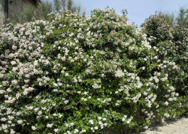 Fiori Bianchi Da Siepe.Giardini Mgf Le Piante Da Siepe Col Miglior Rapporto Altezza Prezzo