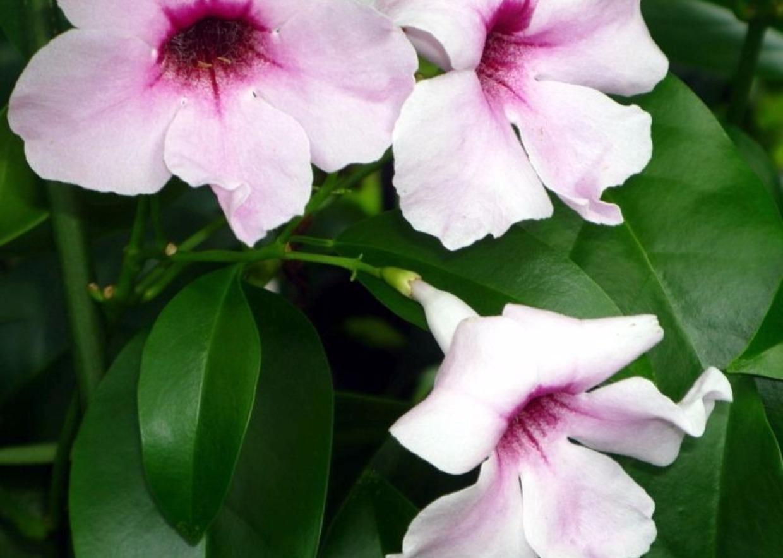 Rose Rampicanti Senza Spine giardini mgf] | i migliori rampicanti sempreverdi