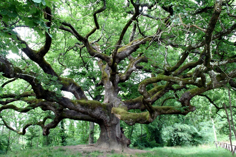 Giardini mgf le parti commestibili degli alberi for Alberi simili alle querce