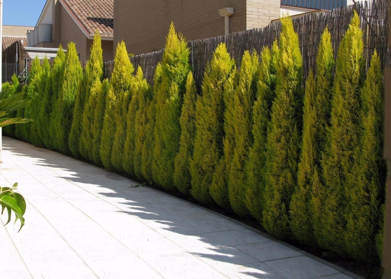 Giardini mgf le variet pi adatte a realizzare siepi for Siepi sempreverdi alte