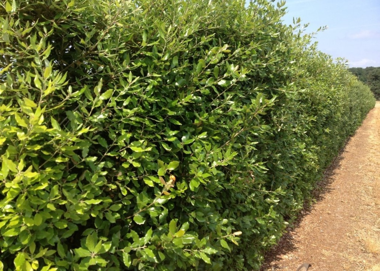 Siepi Da Giardino Crescita Veloce : Le siepi distanza altezza spese
