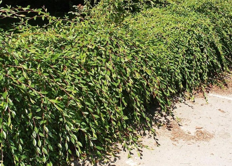 Piante Per Scarpate : Giardini mgf le migliori piante per rinsaldare scarpate