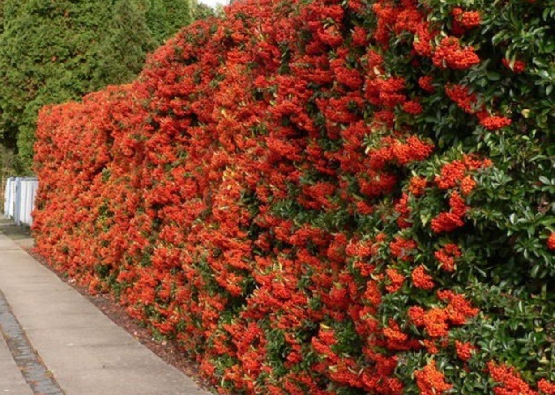 Piante Da Siepi Immagini giardini mgf] | le varietà più adatte per siepi medie (120