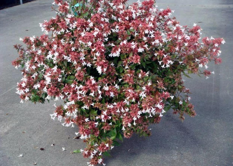 Siepi Da Giardino Fiorite : Giardini mgf le varietà più adatte per realizzare siepi basse