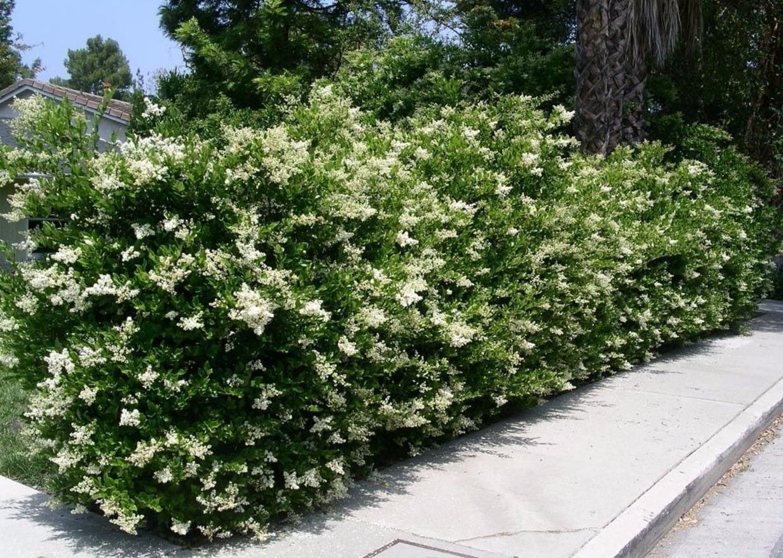 Piante Per Siepi Alte : Giardini mgf le varietà più adatte a realizzare siepi