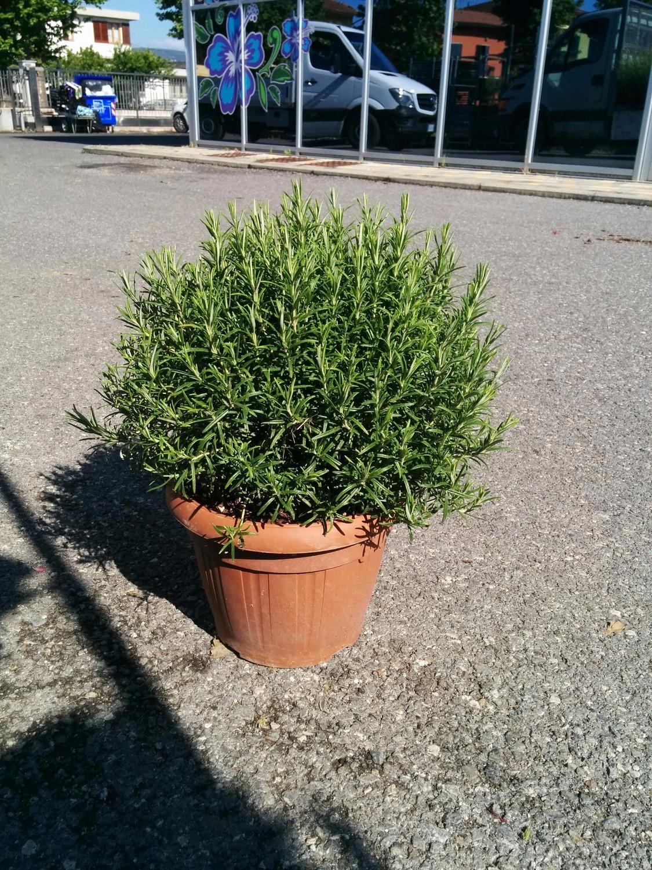 Siepe di bambu in vaso x cipresso leylandii pack with - Rampicanti sempreverdi a crescita rapida ...