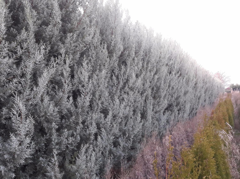 Siepe Di Bambu Prezzo.Giardini Mgf Le Varieta Piu Adatte Per Siepi Medie 120 200 Cm