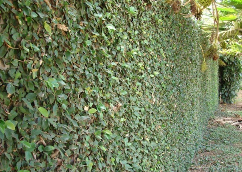 Giardini Mgf I Migliori Rampicanti Sempreverdi