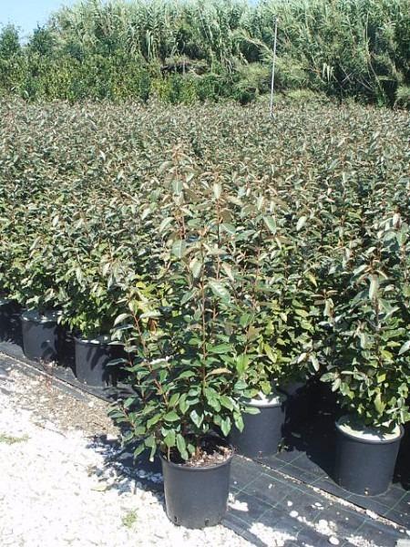 Giardini mgf le variet pi adatte per realizzare - Alberelli da giardino sempreverdi ...